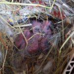 Crías de conejo mariposa recién nacidos