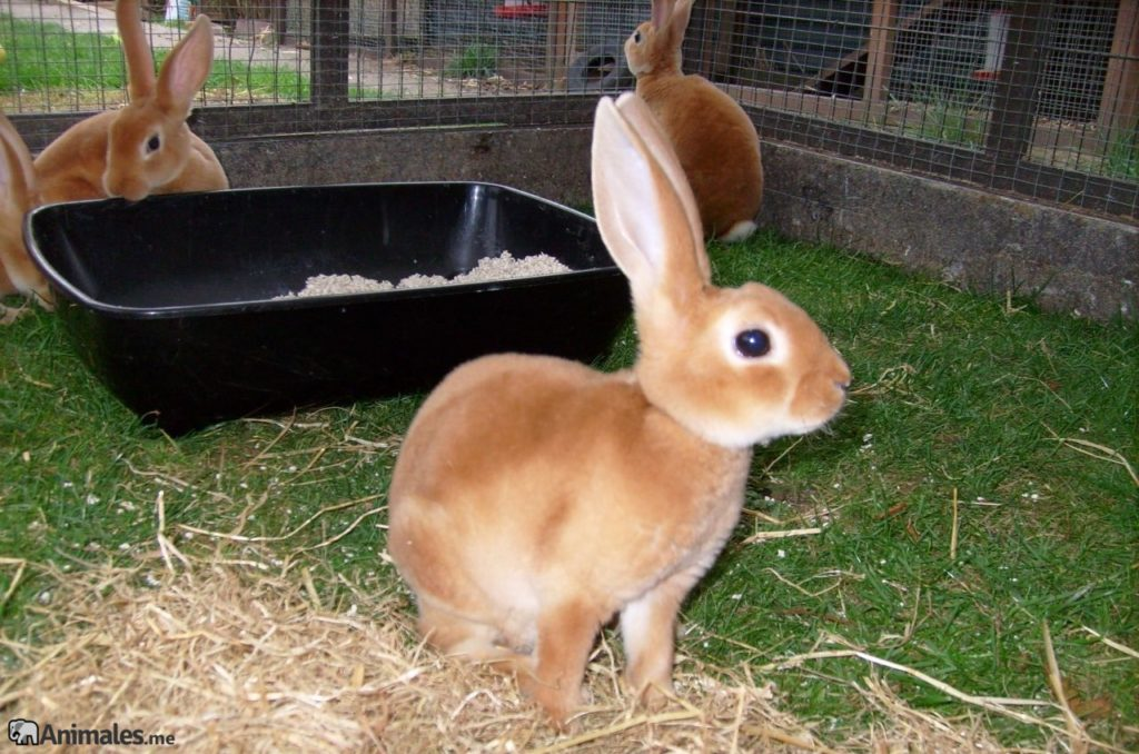 Crías de conejo mini Rex de color naranja