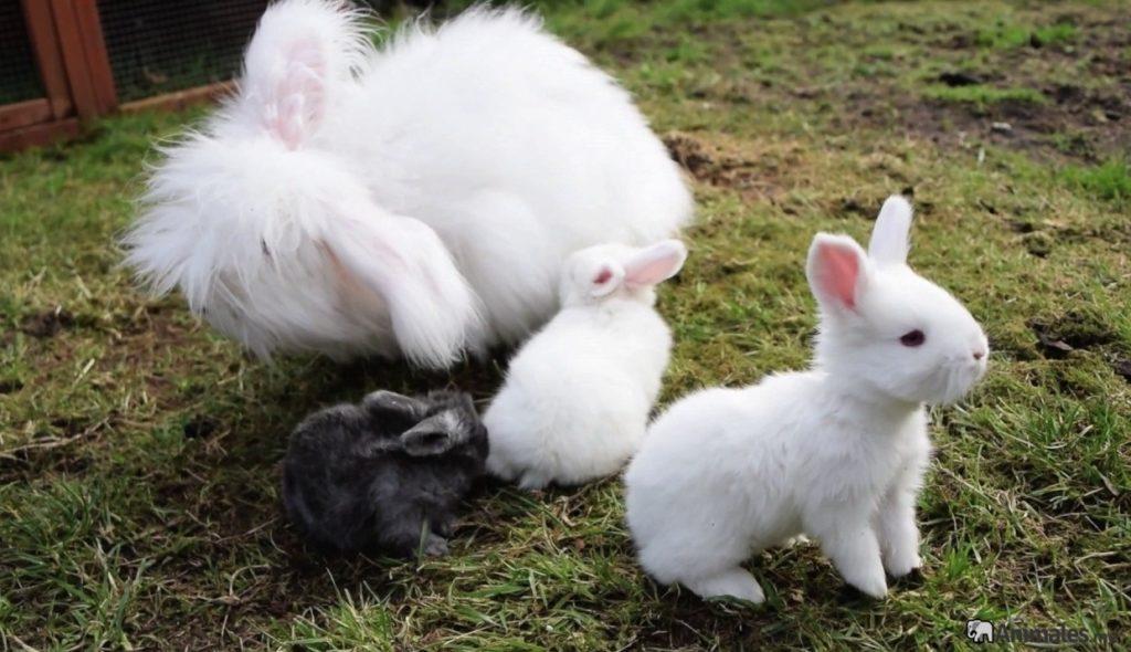 Crías de conejos de angora con su mamá coneja
