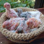 Crías de periquito Bourke bebé en su nido