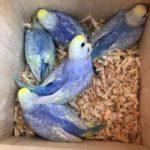 Crías de periquito arcoiris en nido