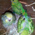 Crías de periquito australiano bebes