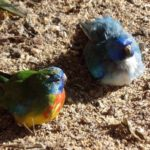 Crías de periquitos esplendidos bebes