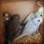 Crías de periquitos ingleses bebes en su nido
