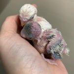 Crías de periquitos papilleros