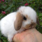 Cria de conejo belier bebe bicolor blanco y marron