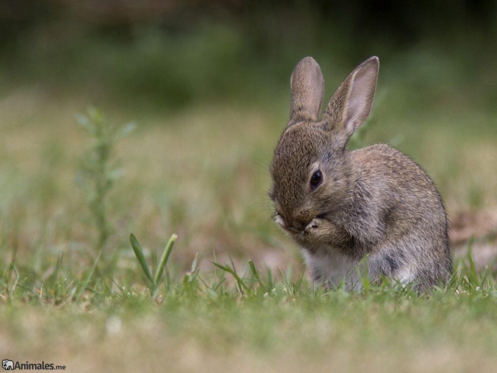 Cria de conejo de flandes