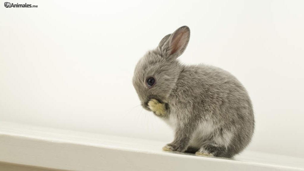 Cria de conejo enano holandés