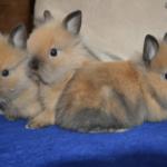 Crias de conejo cabeza de león bebes bicolores marron y negro