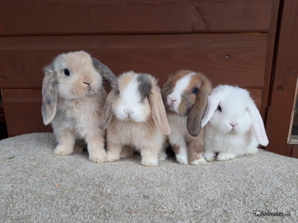 Crias de conejo mini lop bebe de diferentes colores