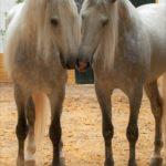 Dos caballos cartujanos besandose pareja