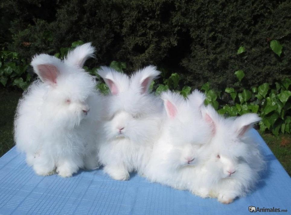Familia de conejor de angora inglés