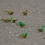 Grupo de pericos dorsirrojos en la calle buscando comida