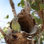 Hembra de Periquito de rabadilla roja en la entrada de su nido