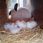 Mama de coneja californiana con sus crías bebes