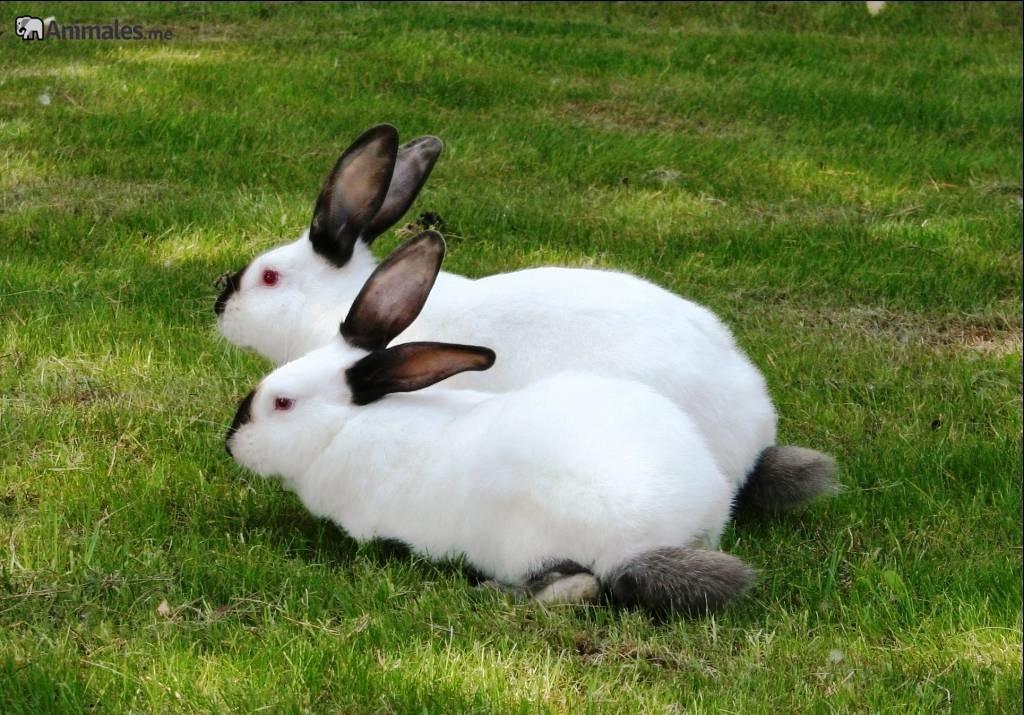 Pareja de conejos californianos en libertad por el cesped