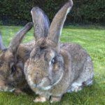 Pareja de conejos gigantes color gris