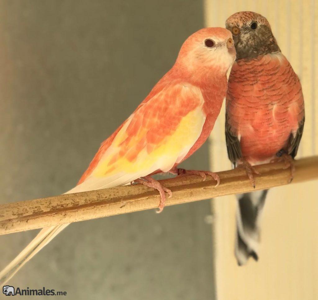 Pareja de periquitos Bourke enamorados besandose