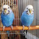 Pareja de periquitos australianos azules