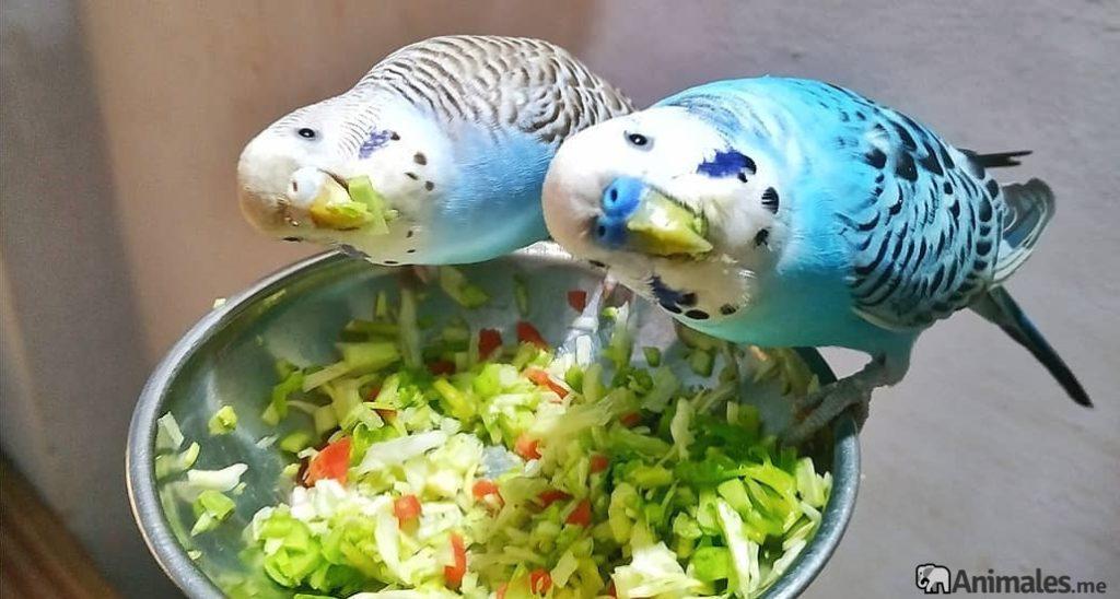 Pareja de periquitos azules comiendo verdura