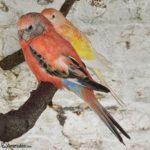 Pareja de periquitos de Bourke (color salmon rosado)