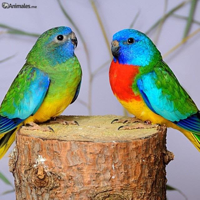 Pareja periquitos esplendido, a la derecha esta el macho y a la izquierda la hembra