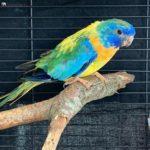 Perico esplendido azul amarillo y verde