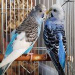 Pericos australianos azules