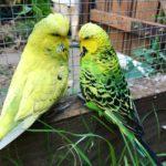 Pericos ingleses, uno amarillo y otro verde