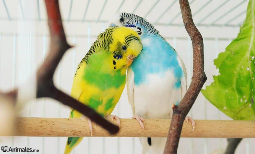 Periquito amarillo y verde con un periquito azul y blanco