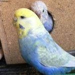 Periquito arcoiris protegiendo la entrada de su nido