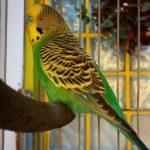 Periquito australiano (Melopsittacus undulatus) verde
