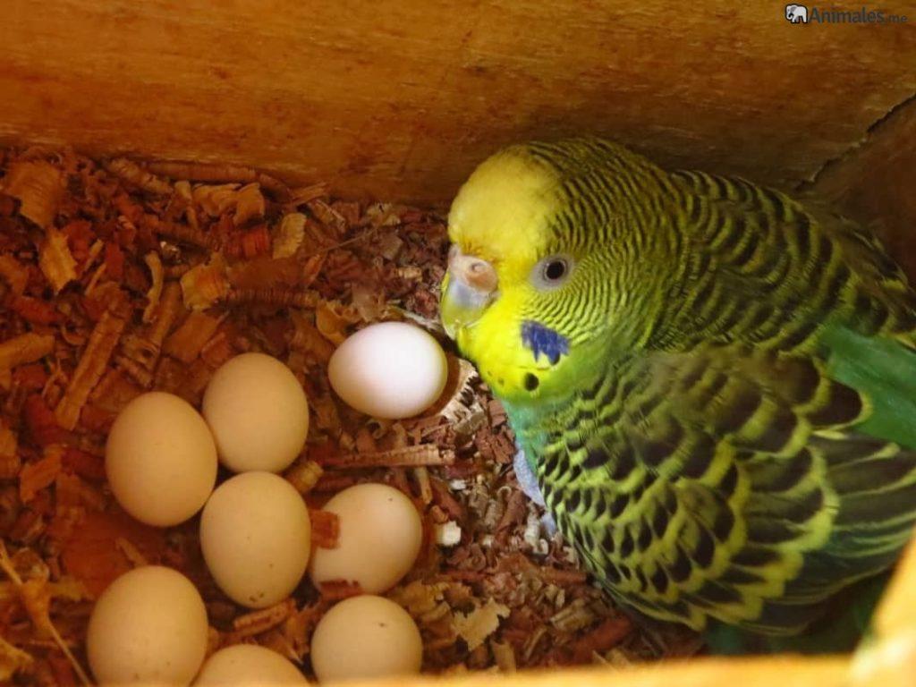 Periquito australiano en su nido incubando los huevos
