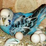 Periquito azul empollando huevos