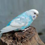 Periquito azul encima de un tronco