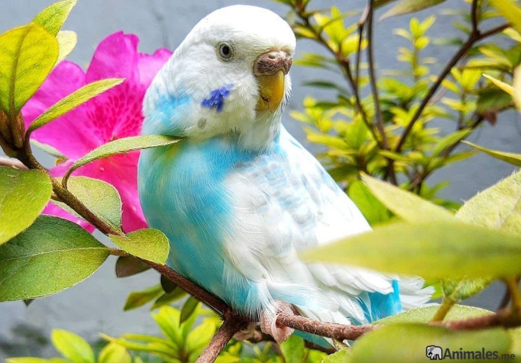 Periquito azul y blanco hembra