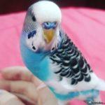 Periquito azul y blanco moteado con negro