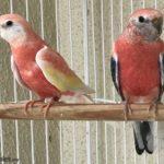 Periquito de Bourke rosado