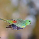 Periquito de rabadilla roja volando en picado