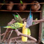 Periquitos australianos comiendo mazorca de maiz