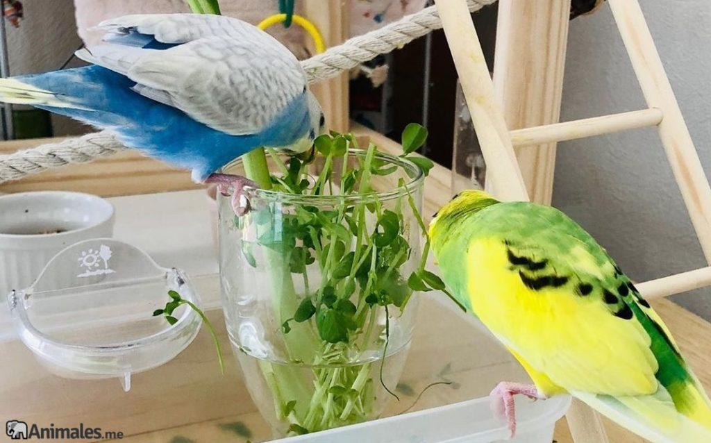 Periquitos comiendo