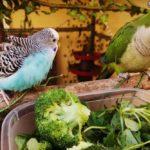 Periquitos comiendo verdura