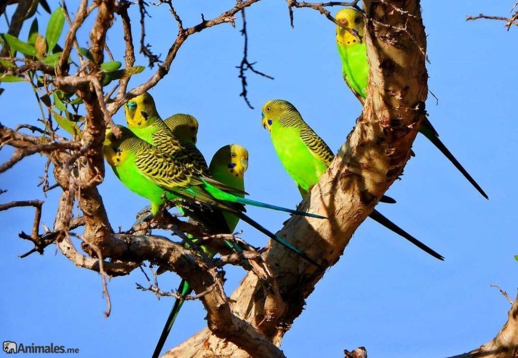 Periquitos en los árboles
