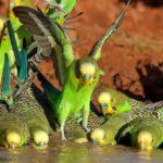 Periquitos salvajes bebiendo agua