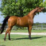 caballo árabe marron