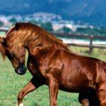 caballo árabe marron castaño capa