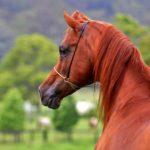 caballo árabe marron claro cabeza y cuello