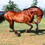 caballo alazan marron con pelo negro