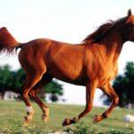 caballo alazan trotando