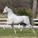 caballo andaluz de color balnco